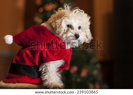 Santa poodle with a christmas tree - stock photo
