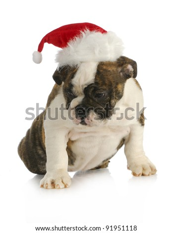 santa puppy - english bulldog puppy wearing santa hat on white background - stock photo