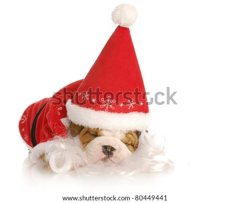santa puppy - english bulldog wearing santa suit on white background - stock photo