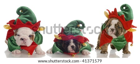 santa's helpers - three english bulldog puppies dressed up as elves - stock photo