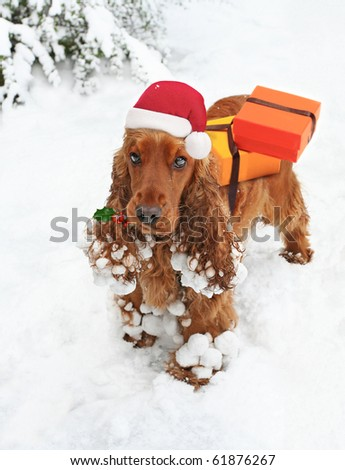 Santa's Little Helper, cute Spaniel with Holly in mouth bearing Christmas Gifts - stock photo
