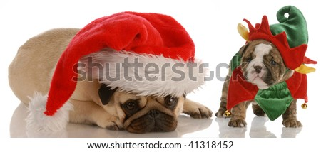 santas helpers - pug dressed as santa and english bulldog puppy dressed as elf - stock photo