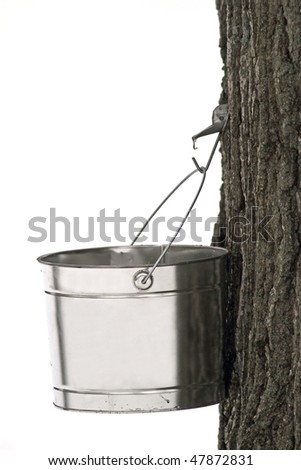 Sap bucket collecting sap used for the production of maple syrup. - stock photo