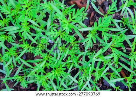 sapling grass - stock photo