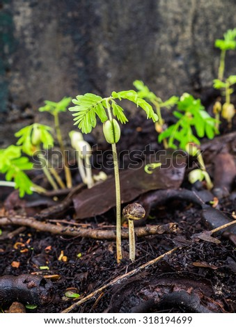 sapling sprout of tamarind on ground - stock photo