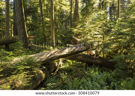 Saplings grow amongst downed giant Douglas Fir trees in lush Cathedral Grove, MacMillan Provincial Park, Vancouver Island, BC - stock photo