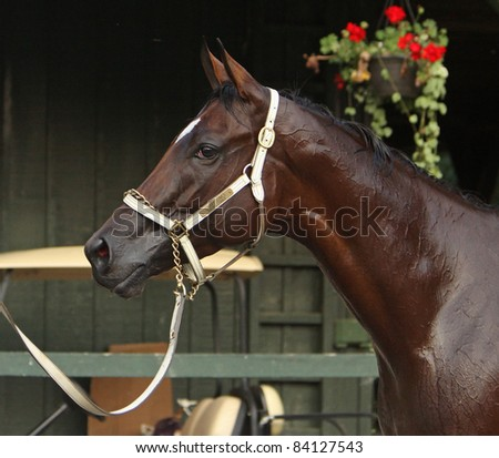 "SARATOGA SPRINGS, NY - SEPT 3: Champion filly ""Havre de Grace"" relaxes outside her stall after winning The Woodward Stakes at Saratoga Race Course on Sept 3, 2011 in Saratoga Springs, NY. - stock photo"