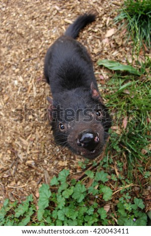 Sarcophilus harrisii - a Tasmanian devil being very curious and looking at the fish eye camera. Dirty saliva, infested with bacteria, is dripping from its mouth. - stock photo
