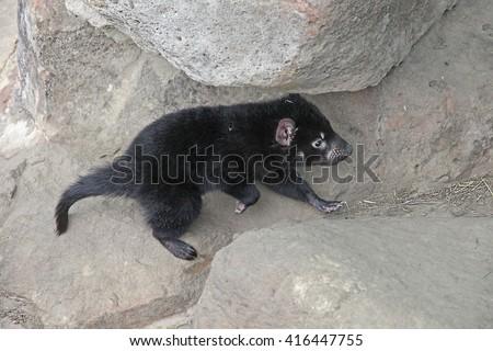 Sarcophilus harrisii -  A young tasmanian devil, climbing some rocks. - stock photo