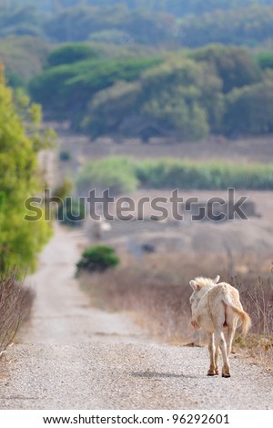 Sardinian wild donkey walk alone into a dirt road - stock photo