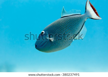 Sargassum Triggerfish, xanthichthys ringens, swimming in blue water close up