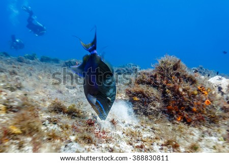 Sargassum Triggerfish, xanthichthys ringens, swimming on coral reef close up - stock photo