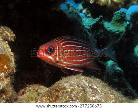 Sargocentron diadema/crown squirrelfish under coral ledge during the day - stock photo