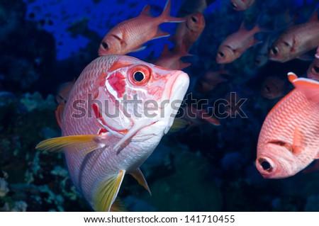 Sargocentron spiniferum, Giant squirrelfish swims through blotcheye soldierfishes - stock photo