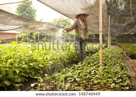 Sasha inchi plantation, farmer watering Sasha inchi tree in plantation - stock photo