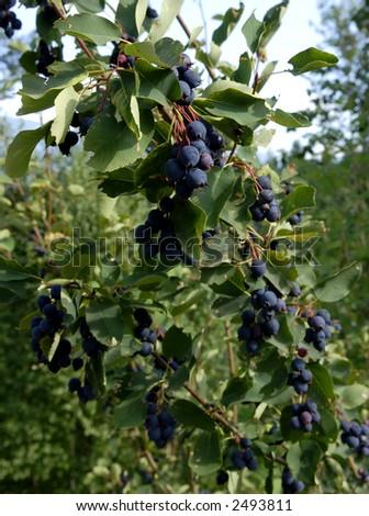 Saskatoon berries on the tree - stock photo