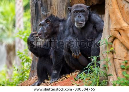 sat staring chimpanzee  - stock photo