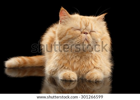 Satisfied Exotic ginger cat Lying on Black mirror background - stock photo
