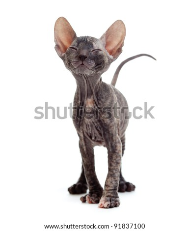 Satisfied hairless sphynx kitten - stock photo