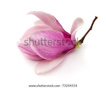 Saucer Magnolia (Magnolia x soulangeana) - stock photo