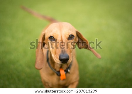 Sausage dog running towards the camera on a grassy surface. - stock photo