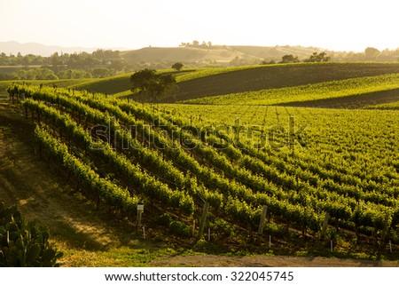 Sauvignon Blanc Grapevines On Vineyard Hillside - stock photo