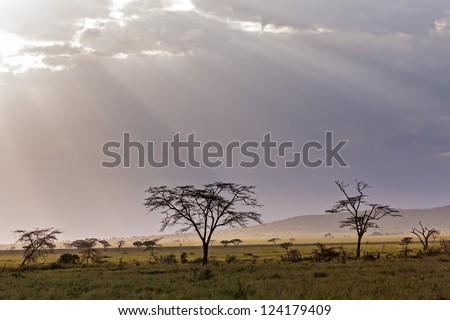 Savanna plain with acacia trees against storm cloud sky with sun beams background. Serengeti National Park, Tanzania, Africa. - stock photo
