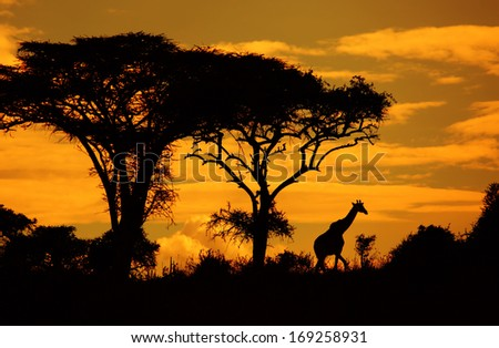 Savanna's silhouettes with acacias and giraffe at sunset. Kenya - stock photo
