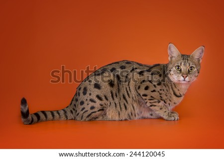 savannah cat isolated on a brown background - stock photo