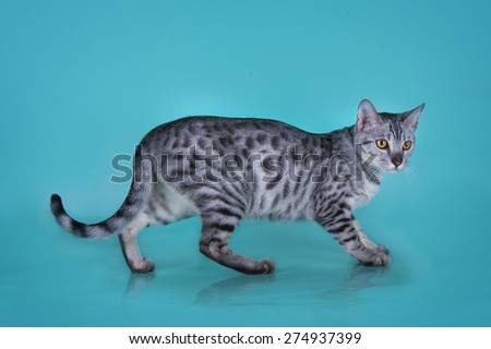 Savannah kitten isolated on blue background - stock photo