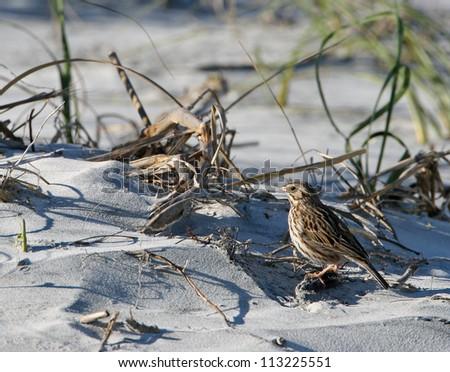 savannah sparrow - stock photo
