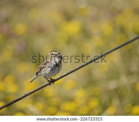 Savannah sparrow (Passerculus sandwichensis) perched on a cable against a blurred colorful background at Yaquina Head Outstanding Natural Area, Newport, Oregon.  - stock photo