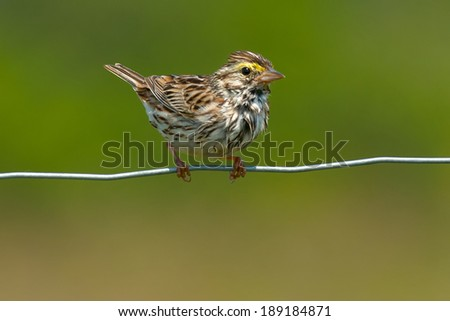 Savannah Sparrow perched on a page wire fence. - stock photo