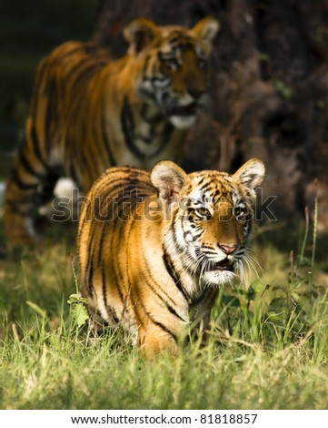 Save the Tiger - stock photo