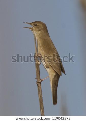 Savi�¢??s Warbler (Locustella luscinioides) singing on a branch cane. - stock photo