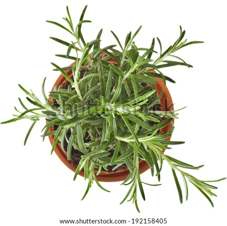 Savory fresh herb rosemary growing in brown flower pot  top view isolated on white  - stock photo