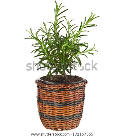 Savory fresh herb rosemary growing in brown wicker basket flowerpot isolated on white background  - stock photo