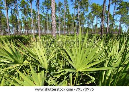 Saw Palmetto grows thick in the pine flatwoods of central Florida on a sunny day - stock photo
