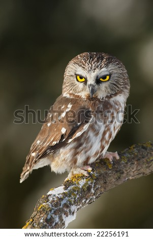 Saw-whet (Aegolius acadicus) Owl posing on a branch - stock photo