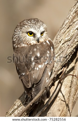Saw-whet Owl Sitting in a Tree with an Intense Stare - stock photo