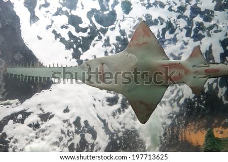Sawfish - stock photo