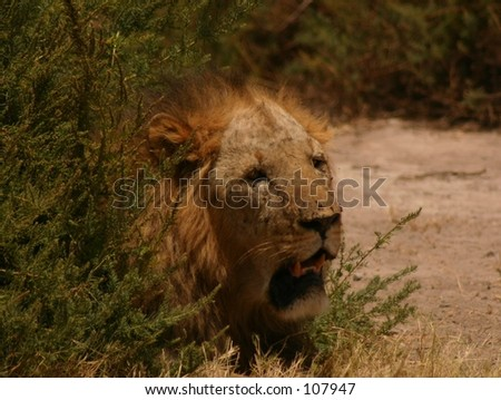 sawgrass lion 5,04 - stock photo