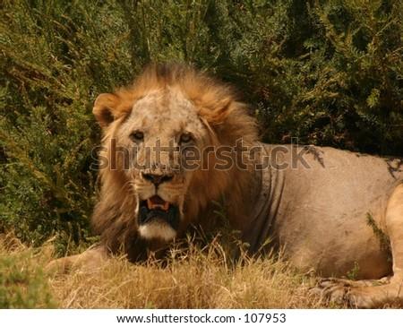 sawgrass lion 6,04 - stock photo