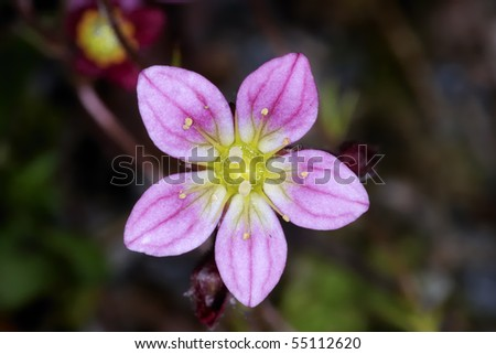 saxifraga arendsii - stock photo