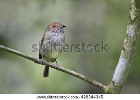 Scale-crested Pygmy Tyrant perched on a tree branch - stock photo