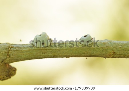 scale insects macro shot on the tropical tree branch - stock photo