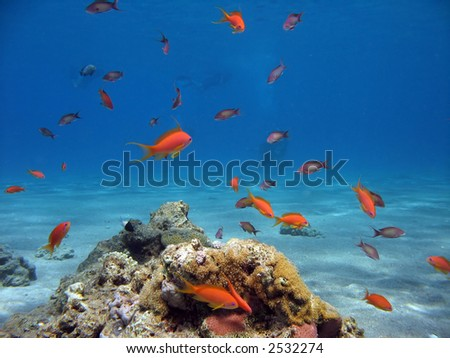 Scalefin Anthias in the Red Sea - stock photo