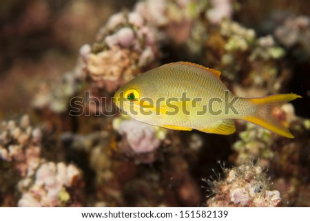 Scalefin Anthias (Pseudanthias squamipinnis), female on a tropical coral reef in Bali, Indonesia. - stock photo