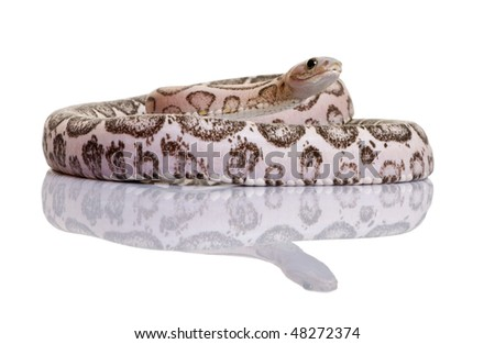 Scaleless corn snake or red rat snake, Pantherophis guttatus, against white background - stock photo