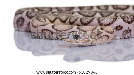 Scaleless corn snake or red rat snake, Pantherophis guttatus, in front of white background - stock photo